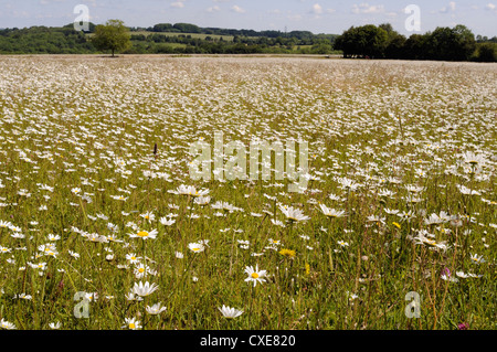Dense carpet of ox eye daisies or Marguerites (Leucanthemum vulgare) in hay meadow, Wiltshire, England - Stock Photo