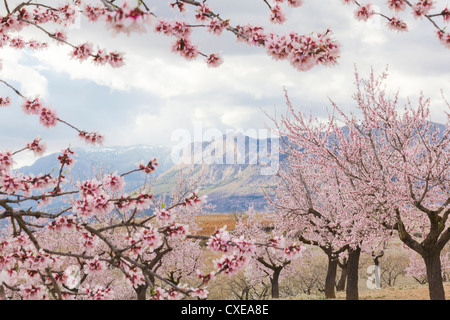 Spring almond blossom, Andalucia, Spain, Europe - Stock Photo