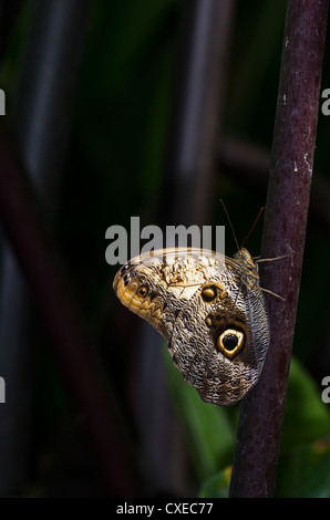 An adult Owl butterfly resting on a stem - Stock Photo
