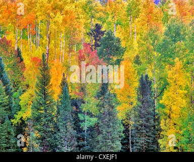Red, yellow and green colored aspen trees in one grove. San Juan Mountains, Colorado. - Stock Photo
