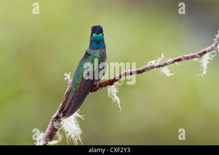 Male Magnificent Hummingbird (Eugenes fulgens) on branch at Savegre, San Gerardo de Dota, Costa Rica. - Stock Photo