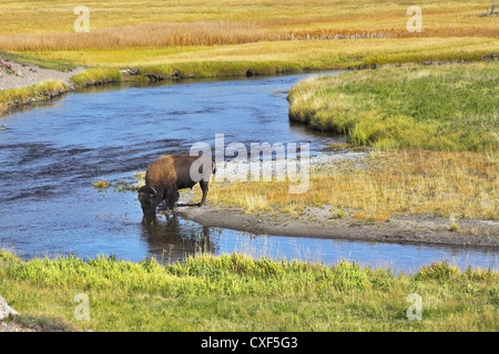 The bison drinks - Stock Photo