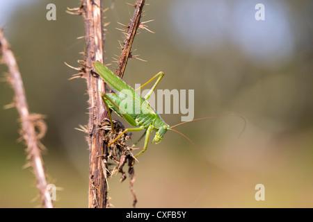 Great Green Bush Cricket; Tettigonia viridissima; male; UK - Stock Photo