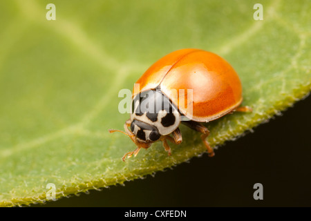 A Polished Lady Beetle (Cycloneda munda) perches on a leaf. - Stock Photo