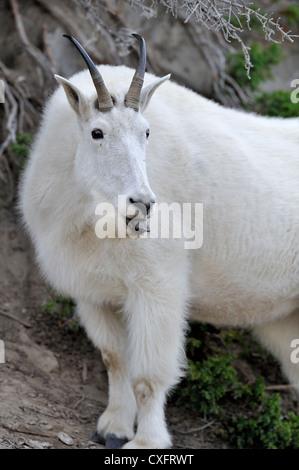 A white mountain goat' Oreamnos americanus' on a mountain side - Stock Photo