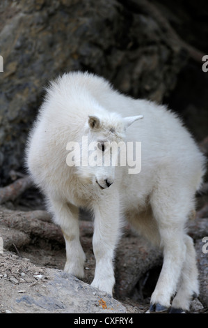 A baby mountain goat walking on a steep mountain side. - Stock Photo