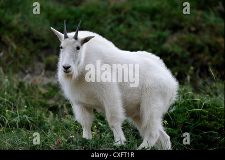 A white mountain goat' Oreamnos americanus' standing in mountain vegetation - Stock Photo
