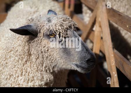 Wensleydale the largest British Sheep_Sheep Breeds at the Masham Sheep Fair, North Yorkshire Dales, UK - Stock Photo