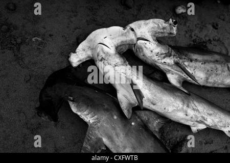 Dead hammerhead sharks lie on the beach of Puerto Lopez, Ecuador. - Stock Photo