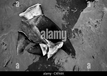 Cut shark fins seen on the beach of Puerto Lopez, Ecuador. - Stock Photo