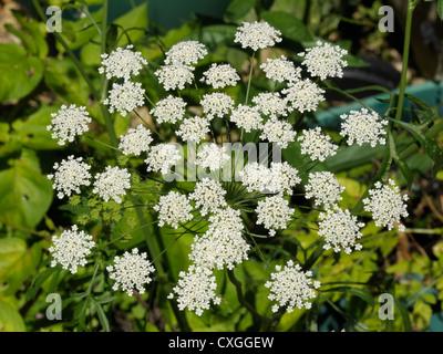 Bullwort, Ammi majus Stock Photo