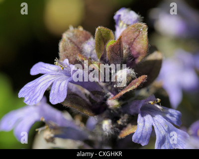 Bugle flower, Ajuga reptans - Stock Photo