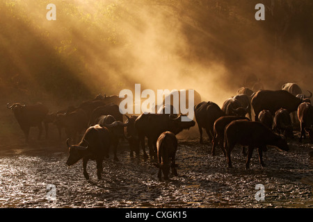 Herd of African Buffalos in wet riverbed, Mana Pools National Park, Zimbabwe,Simbabwe. kaffernbueffel, African Buffalo, - Stock Photo