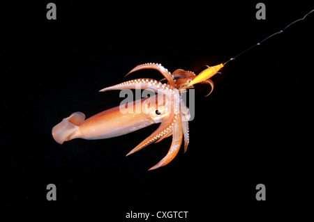 night fishing on a squid, Japanese common squid or Japanese flying squid (Todarodes pacificus) Japan sea, Far East, - Stock Photo