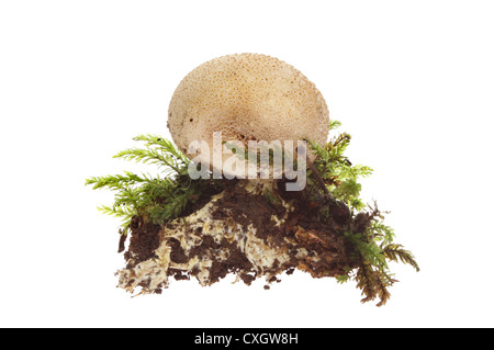 Puffball fungi, gasterothecium, earth and moss isolated against white - Stock Photo