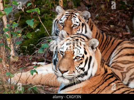 Amur tigers lying down - Stock Photo