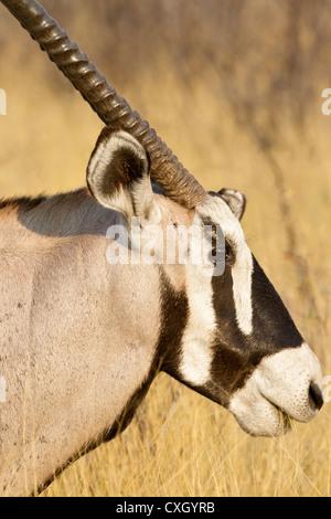 Close-up of a gemsbok (Oryx gazella) in evening light, Nxai Pan, Botswana - Stock Photo