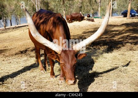 The Ankole-Watusi at La Reserva Sevilla El Castillo de las Guardas the safari park in Seville, Andalusia, Spain - Stock Photo