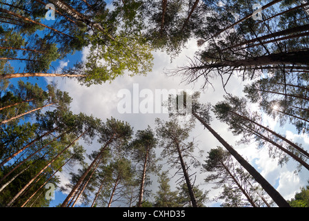 Tall pine trees in the forest - Stock Photo