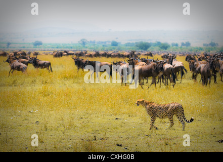 cheetah hunting - Stock Photo