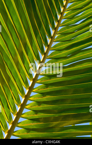 leaf of coconut palm tree - Stock Photo