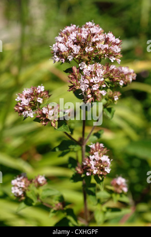 Flower of oregano or marjoram Origanum vulgare a garden grown herb - Stock Photo