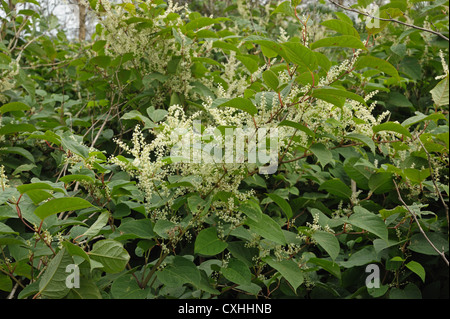 Japanese knotweed Fallopia japonica flowering plants - Stock Photo
