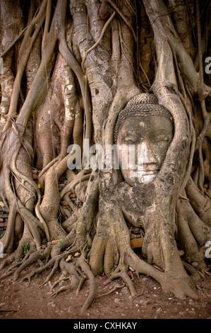 buddha's head in banyan tree roots - Stock Photo