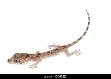 gecko babe isolated - Stock Photo