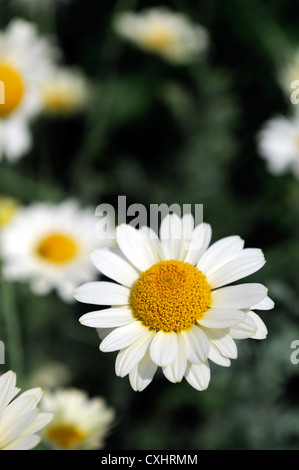 anthemis tinctoria sauce hollandaise mayweed summer closeup july plant portraits white flowers petals yellow centres - Stock Photo