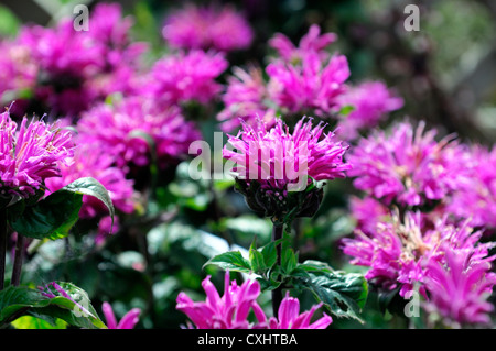 monarda didyma cranberry lace pink flower bee balm bergamot flowers perennials bloom blossom bee insect friendly - Stock Photo