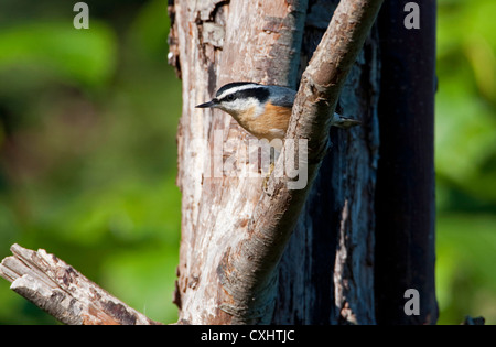 Red-breasted Nuthatch (Sitta canadensis) perched on a branch near feeder at Nanaimo, Vancouver Island, BC, Canada - Stock Photo