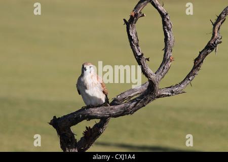 Australian kestrel, falco cenchroides, also known as Nankeen kestrel - Stock Photo