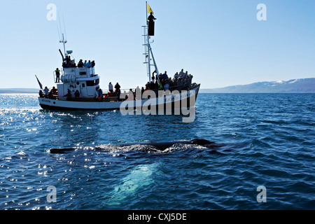 Humpback whale (Megaptera novaeangliae) in front of a whale watching boat, Húsavik, Iceland, Europe - Stock Photo