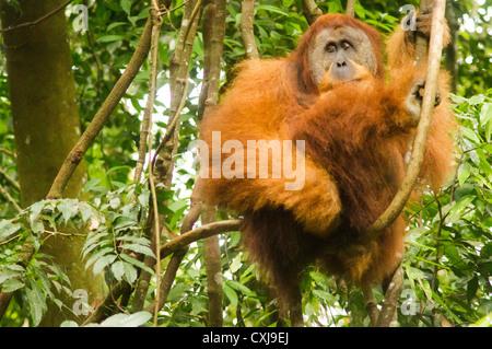 orang utan in the wild, photo taken at indonesia, bukit lawang of sumatra. - Stock Photo