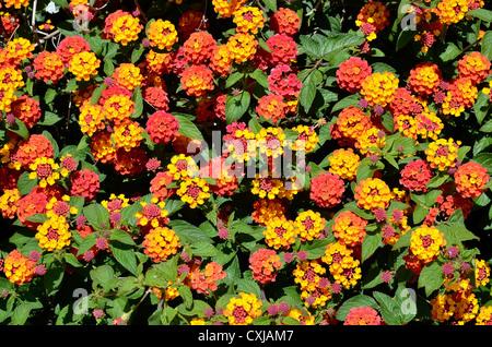 Background of yellow and red Lantana camara flowers - Stock Photo