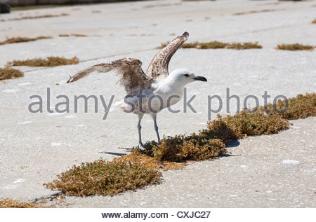 juvenile gull on the harbour at Peniche in Portugal - Stock Photo