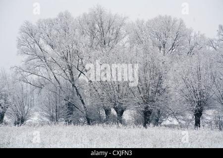 Winter, trees, willows in Kampinos, Kampinoski National Park near Warsaw, Poland, Masovia, Europe, Eu, Mazowsze, - Stock Photo