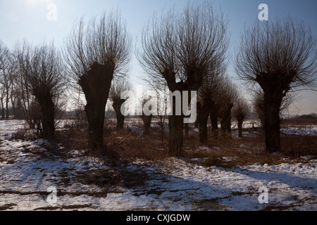 Willow trees in Kampinos near Warsaw, Poland, Masovia, Europe, Eu, Mazowsze, Typical polish, masovian landscape - Stock Photo