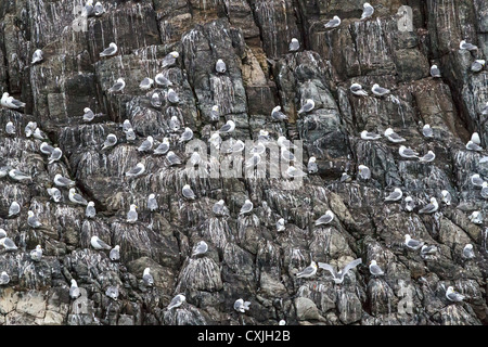 Black legged kittiwakes nest on thin shelves of rock, Coburg Island, NW Passage, Nunavut, arctic Canada - Stock Photo