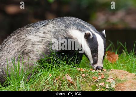 Eurasian Badger (Meles meles), UK - Stock Photo