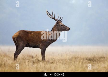 Red Deer (Cervus Elaphus) stag portrait standing, Richmond Park, UK - Stock Photo