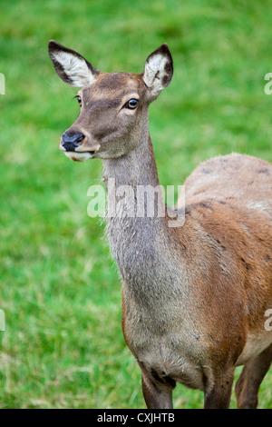 Red deer (Cervus elaphus) hind close up, UK