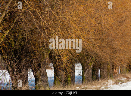 Tree, trees, lane of willows in Kampinos, Kampinoski National Park near Warsaw, Poland, Masovia, Europe, Eu, Mazowsze, - Stock Photo
