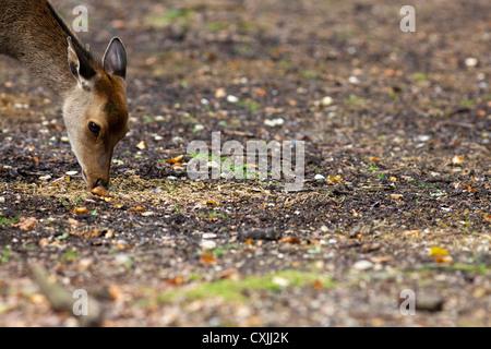 Sika deer (Cervus nippon) feeding - Stock Photo