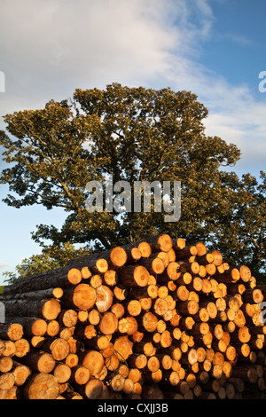 Stack of Cut Logs, tree trunks and Sawn Timber from Felled softwood trees in Masham Conservation Area, North Yorkshire, - Stock Photo