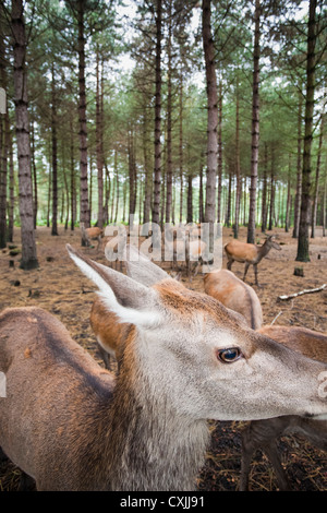 Red deer (Cervus elaphus) in a forest UK - Stock Photo