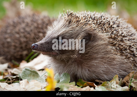 Hedgehog (Erinaceus europaeus), autumn, UK - Stock Photo