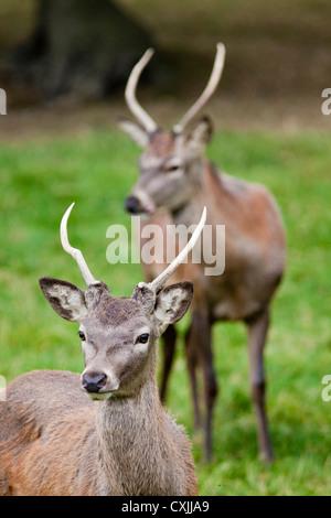 Red deer (Cervus elaphus) young stag, UK - Stock Photo