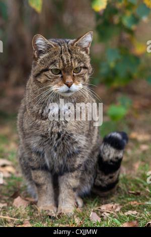 Wild cat (Felis Silvestris) portrait, UK - Stock Photo